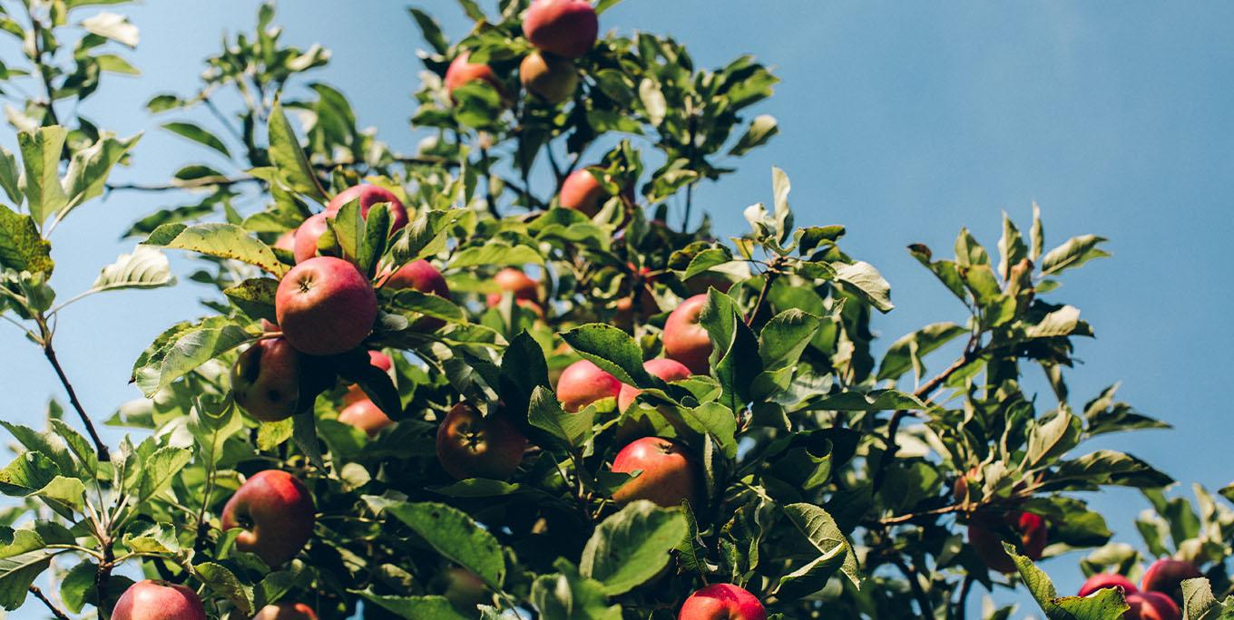 Apples growing in an orchard.