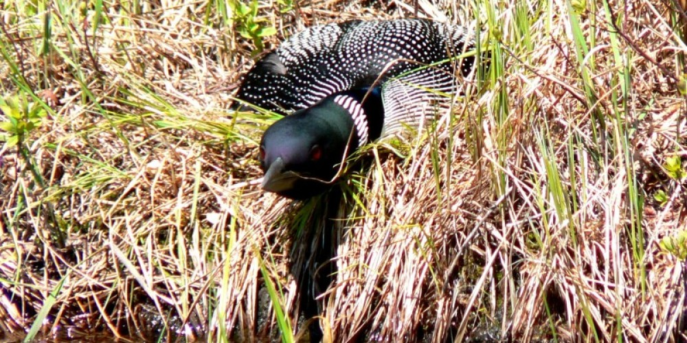 Loon on nest-Bell Lake – C Stromberg