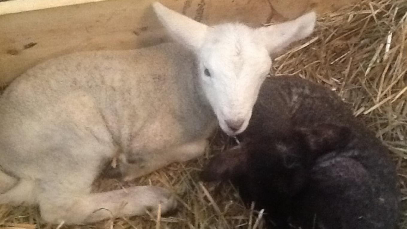 The farm has many species of domestic farm animals. See baby animals in the spring. – Ed Nelson