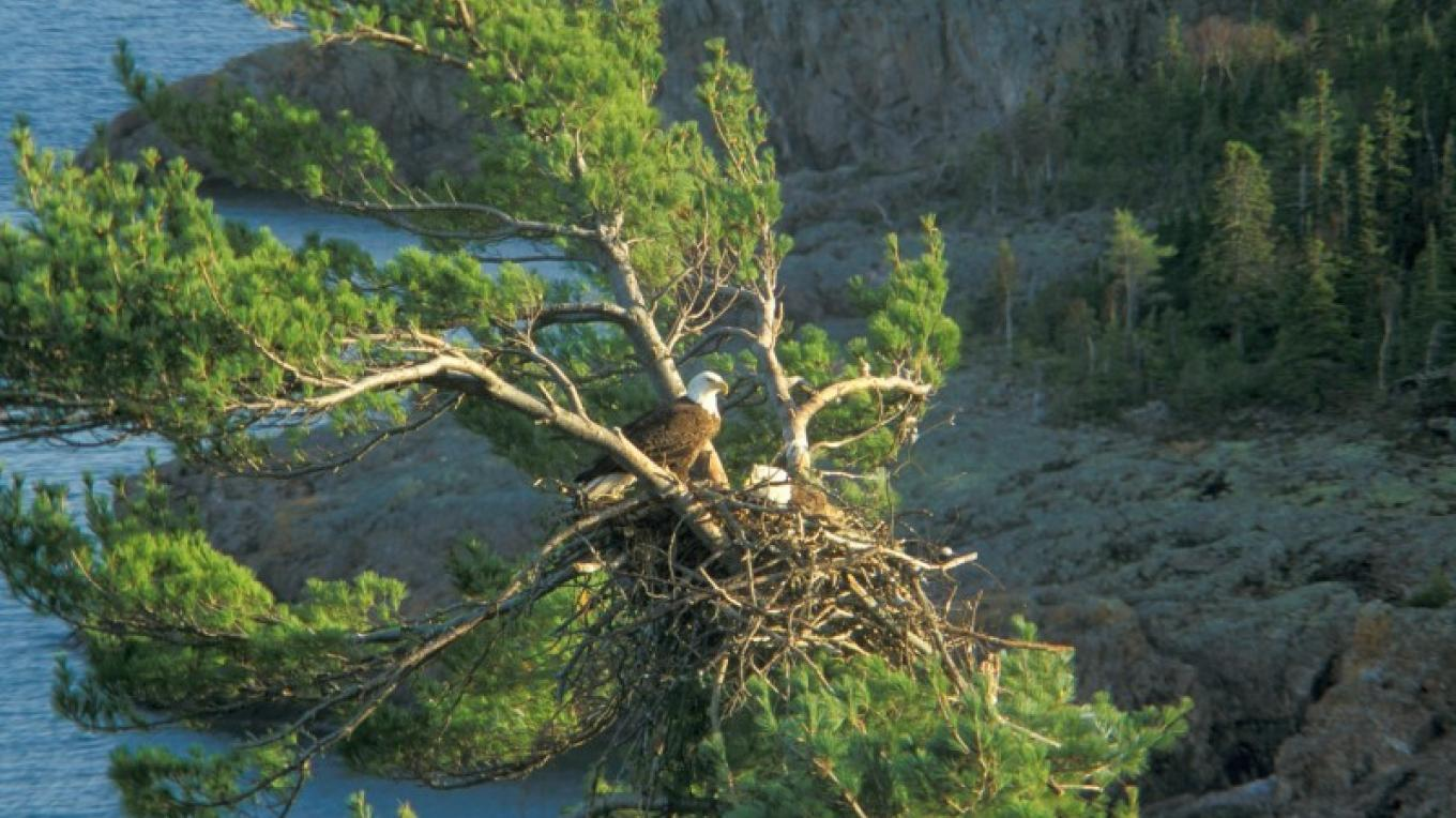 Bald Eagle nest overlooking Tettegouche State Park – Paul Sundberg