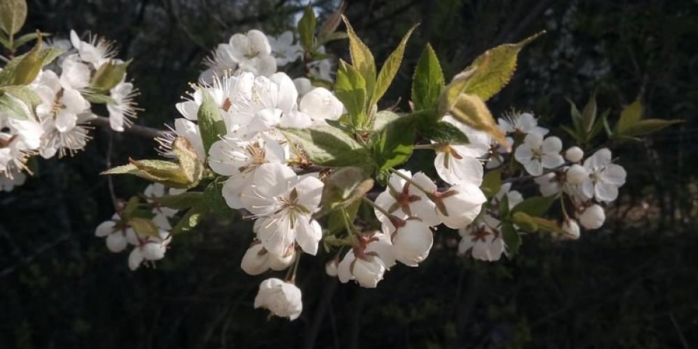 close up of the bloom – Elaine Mackenzie