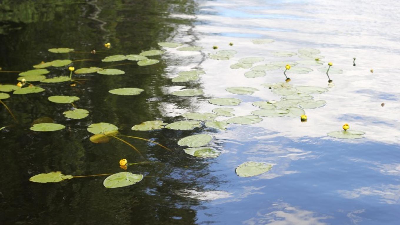 Water Lilies – Michelle Pierson