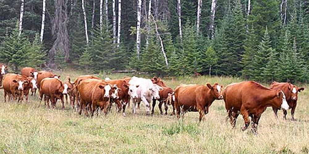 Sunset herd of cattle – Sunset Ridge Cattle Co.
