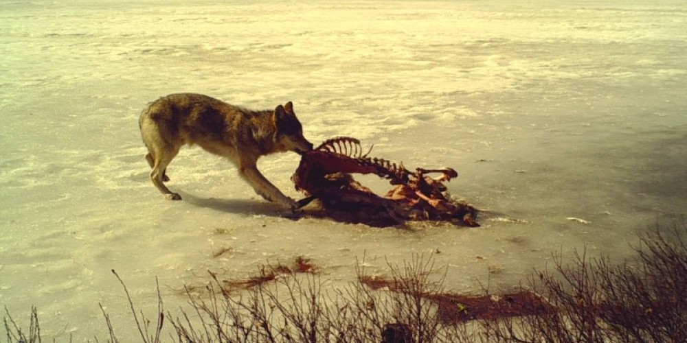 Wolf feeding on a deer carcass – Mike Fitzgerald