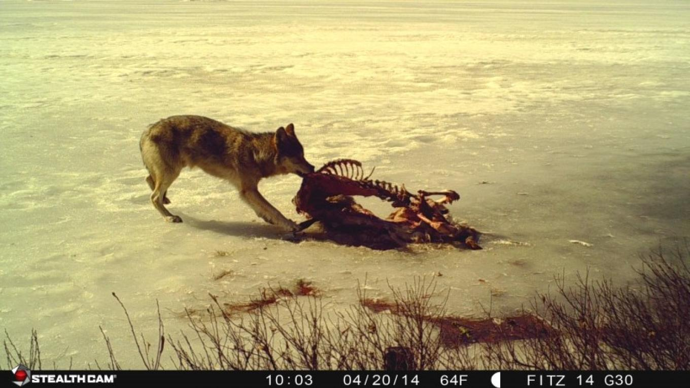 Wolf feeding on a deer carcass – Mike Fitzgerald