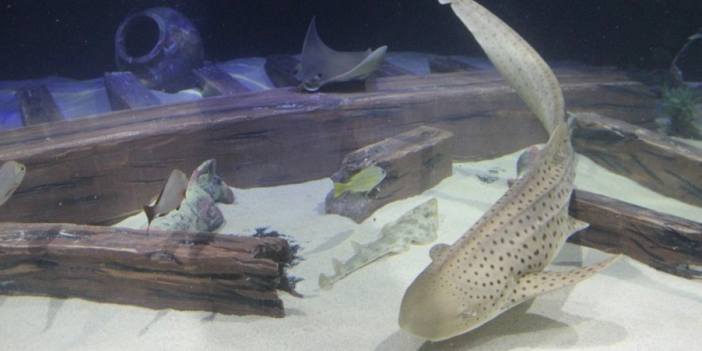 Sheila the zebra shark in Shipwrecks Alive! – Allison Iacone