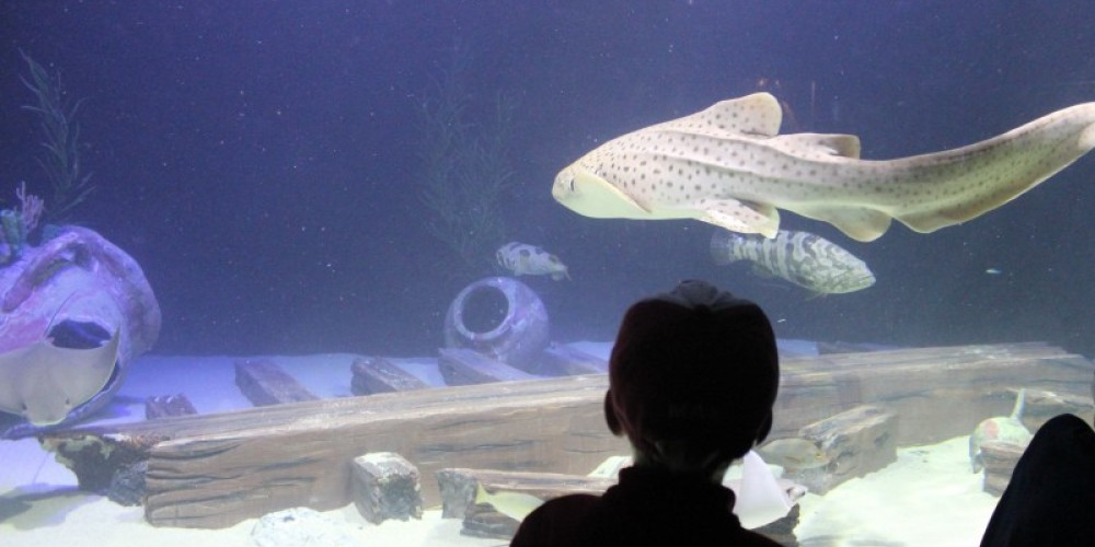 Watching Sheila the zebra shark in Shipwrecks Alive! – Allison Iacone