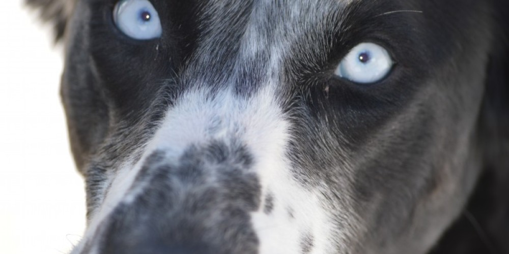 Grace has strikingly blue eyes which go back to her Siberian Husky bloodlines – Shannon Cornelius