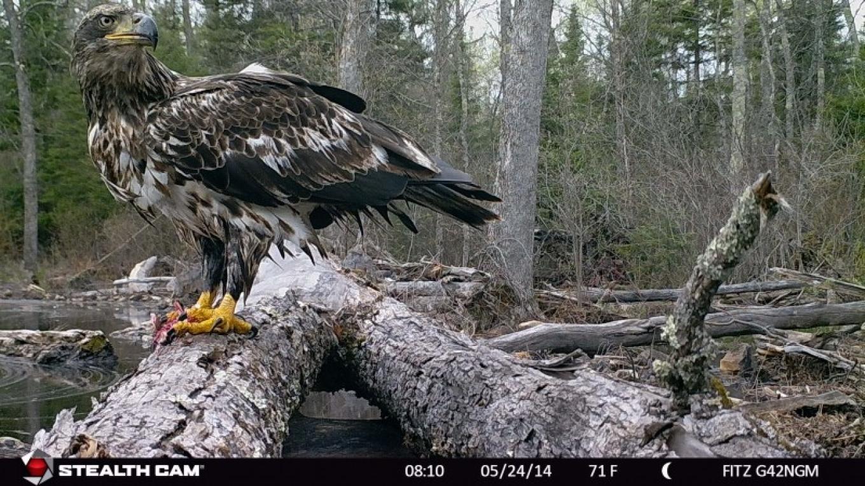 Immature eagle – Mike Fitzgerald