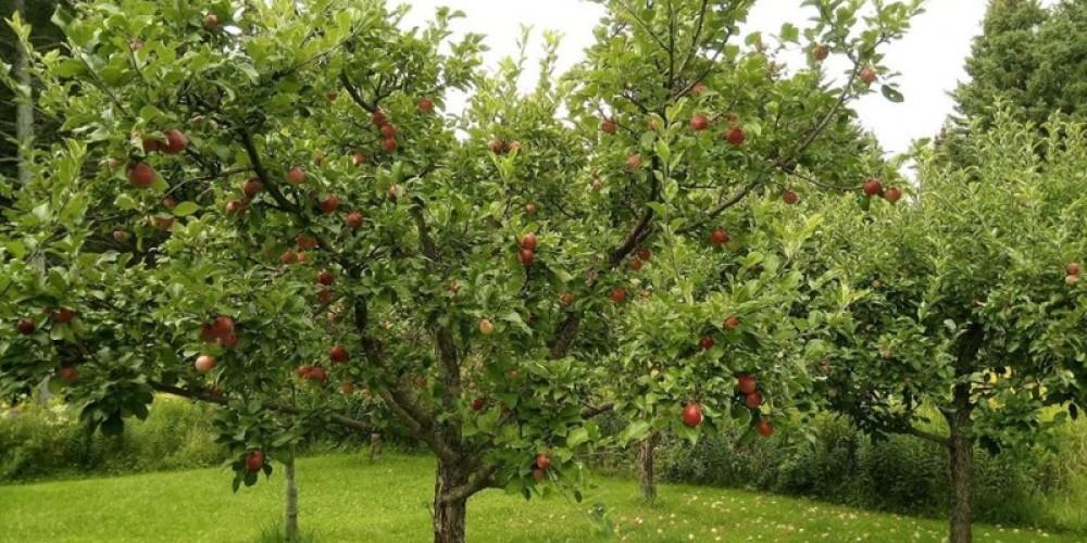 Apples ripe for the picking – Elaine Mackenzie