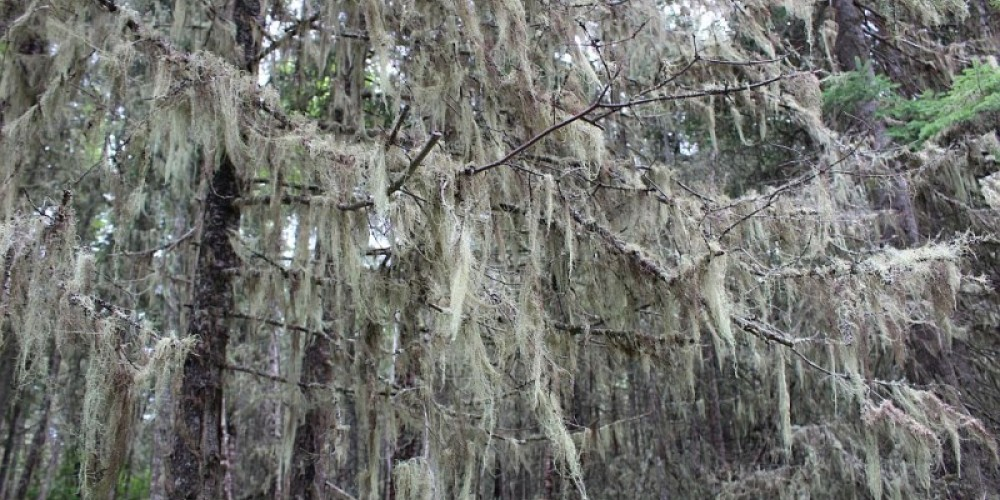 You will find unique plants and vegetation on the island, like this beard moss eerily hanging off the conifer trees. – Photo by: S. Reid