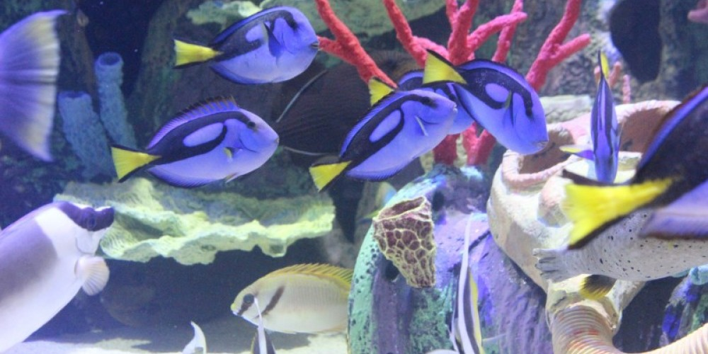 Royal tangs in Shipwrecks Alive! coral reef tank. – Allison Iacone