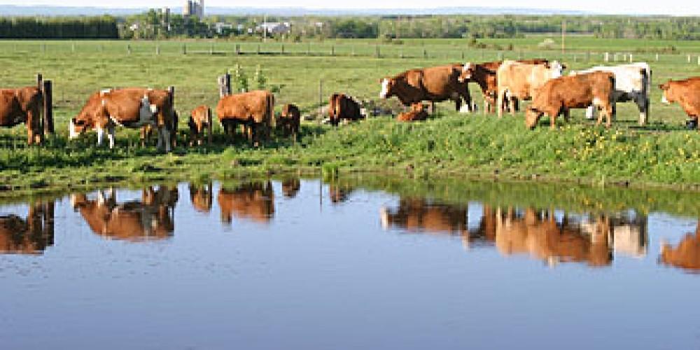 cattle on the farm – Sunset Ridge Cattle Co.
