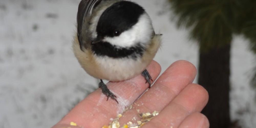 Birding--a Chickadee – Marie Vogt