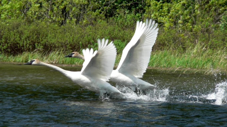 Swans on Basswood Lake