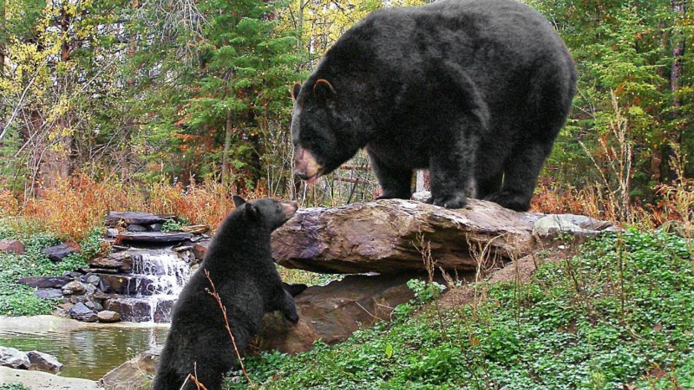 Resident bears at the North American Bear Center