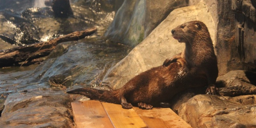 Ore the river otter in Otter Cove. – Allison Iacone
