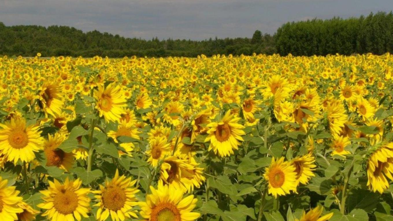 Black Sunflowers. – Kim Jo Bliss