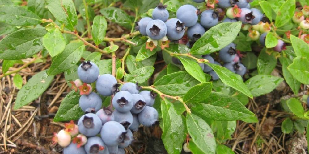 Blueberries! – Seaton