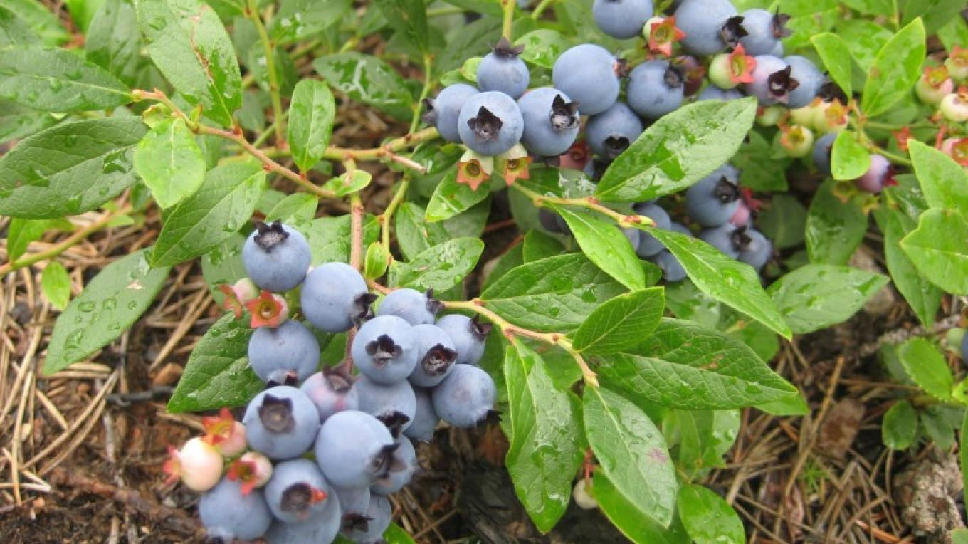 Blueberries! – Seaton