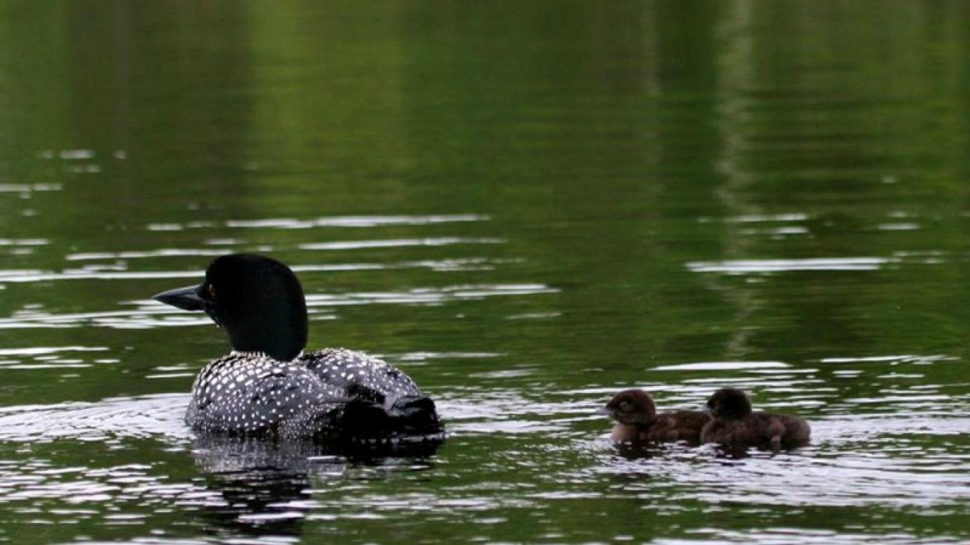 A loon and two chicks – Northernair Lodge