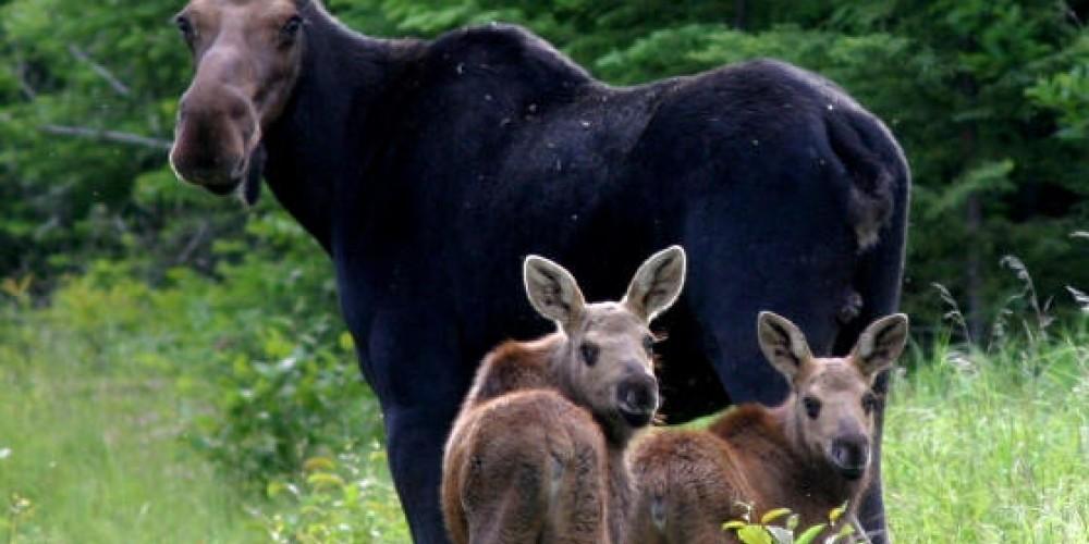 Moose with two calves – Chef Erik Baker