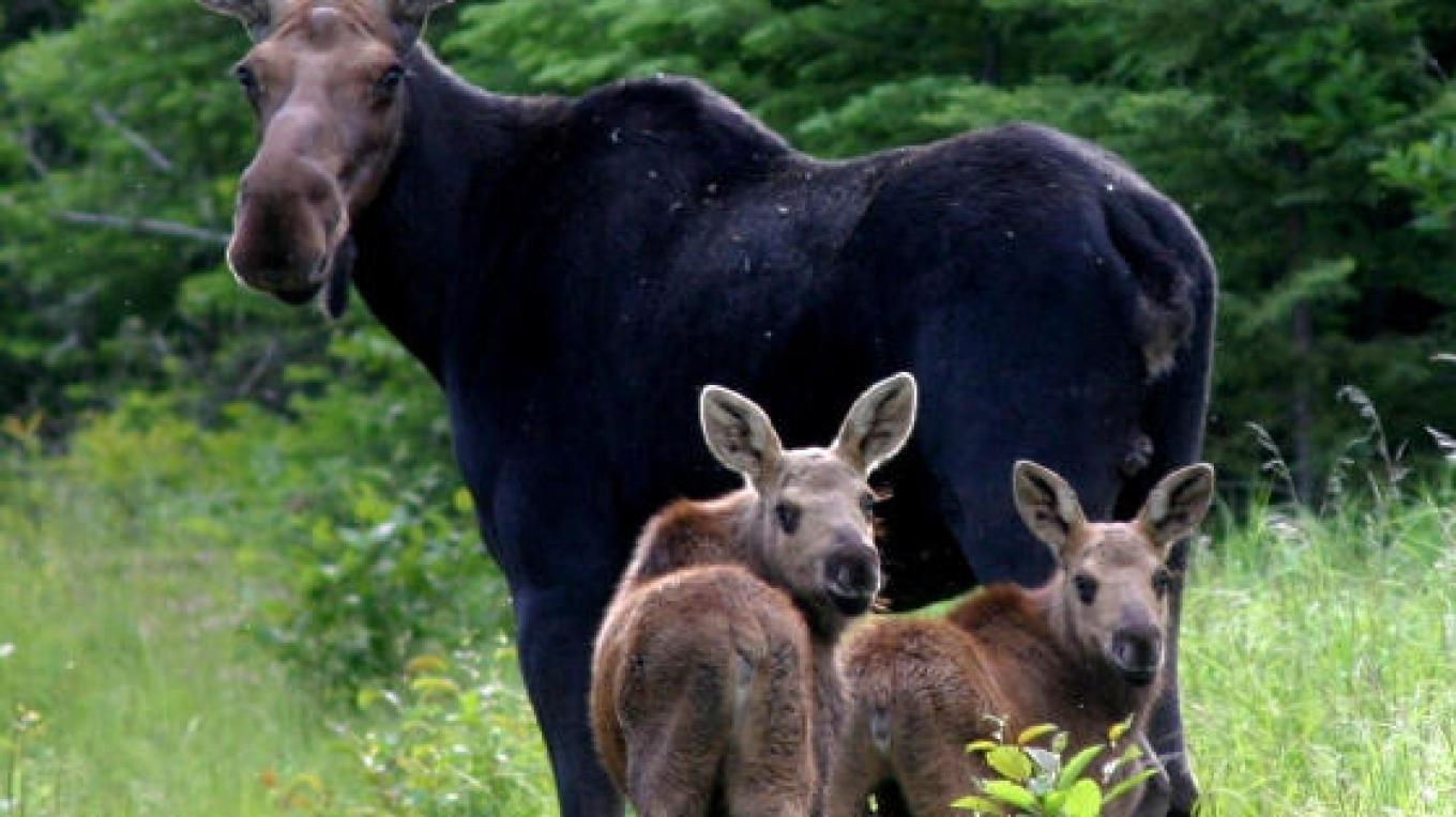 Moose with two calves – Chef Erik Baker