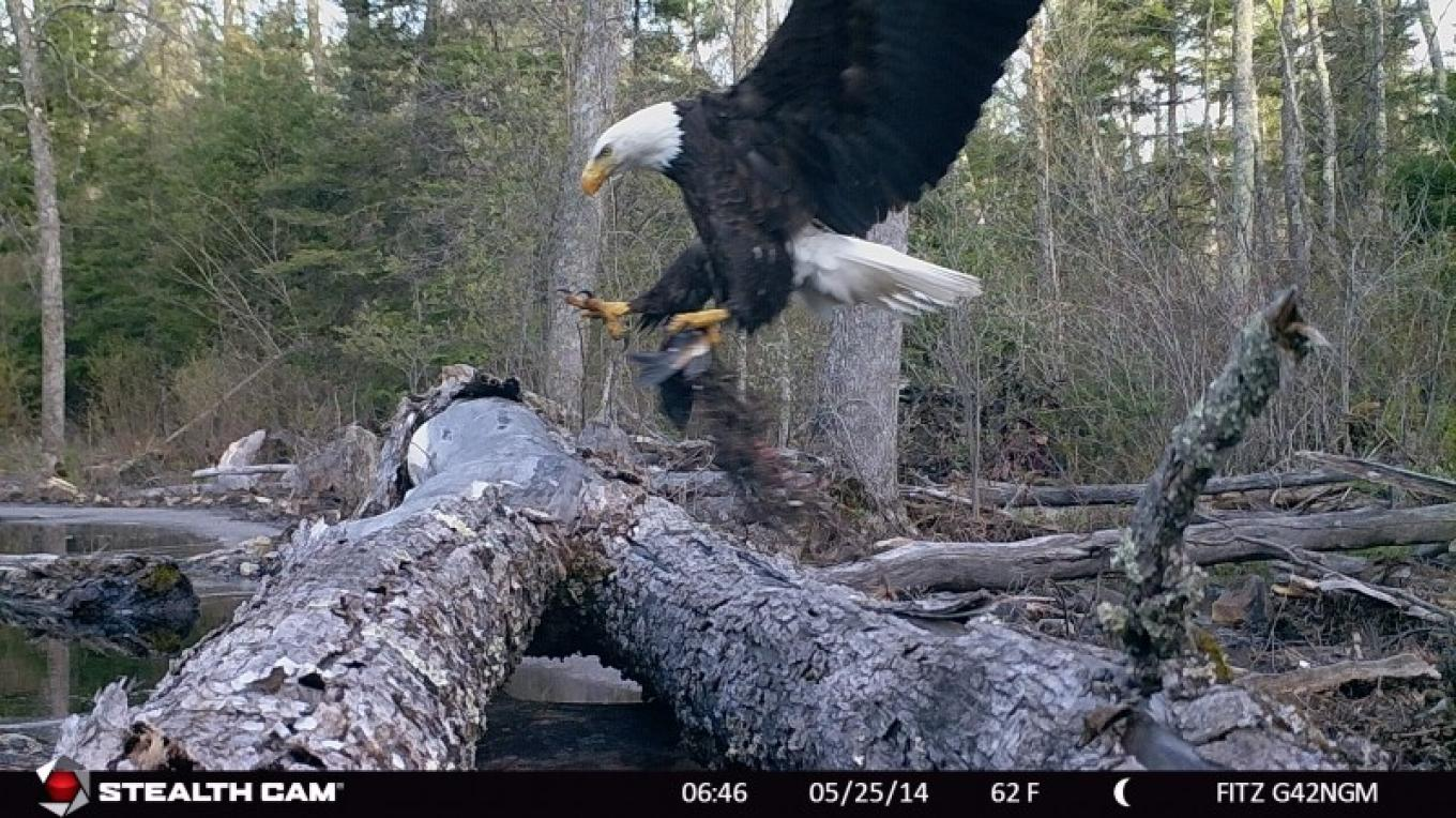Bald eagle with it's catch – Mike Fitzgerald
