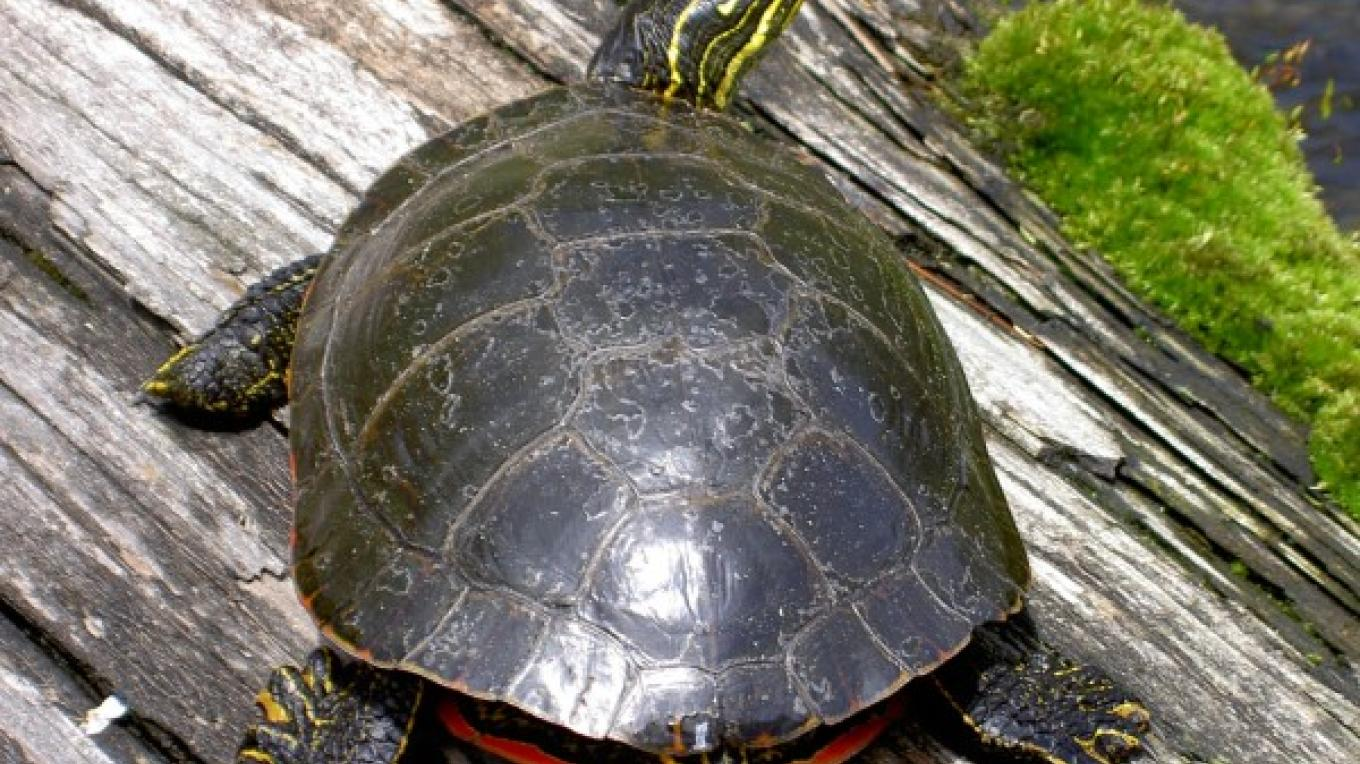 Whiteface River Painted Turtle – Andy Hubley