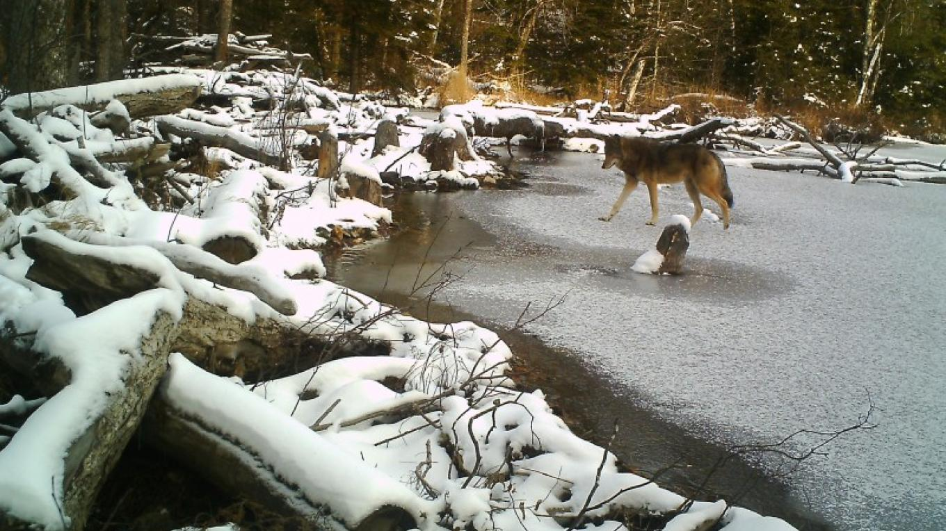 Wolf on the ice of Mitchell Lake – Mike Fitzgerald