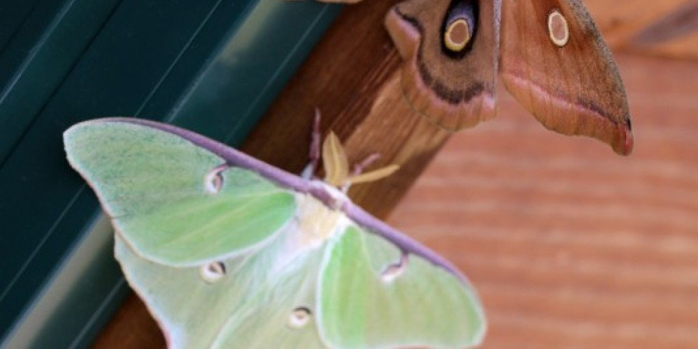 Polyphemus & Luna moths on Cabin 15 – Northernair Lodge