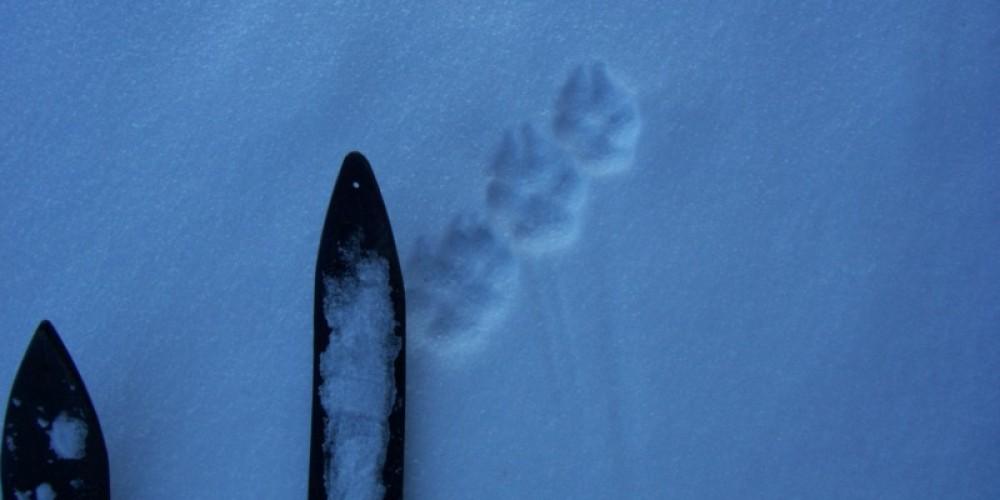 Birch skis and wolf tracks – Kari Natti