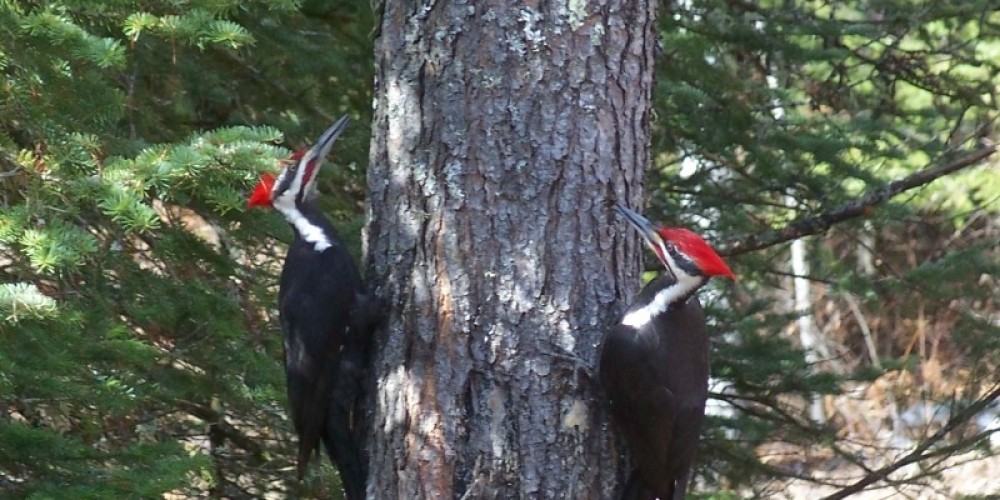 Pileated Woodpeckers at Northern Lights Lodge and Resort – Marie Vogt