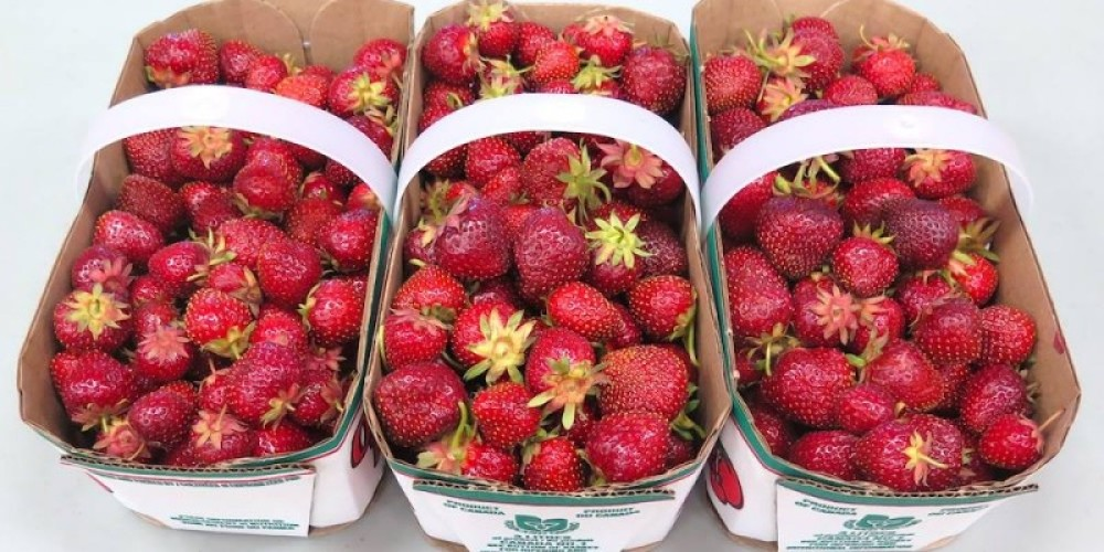 The sweet taste of fresh strawberries!