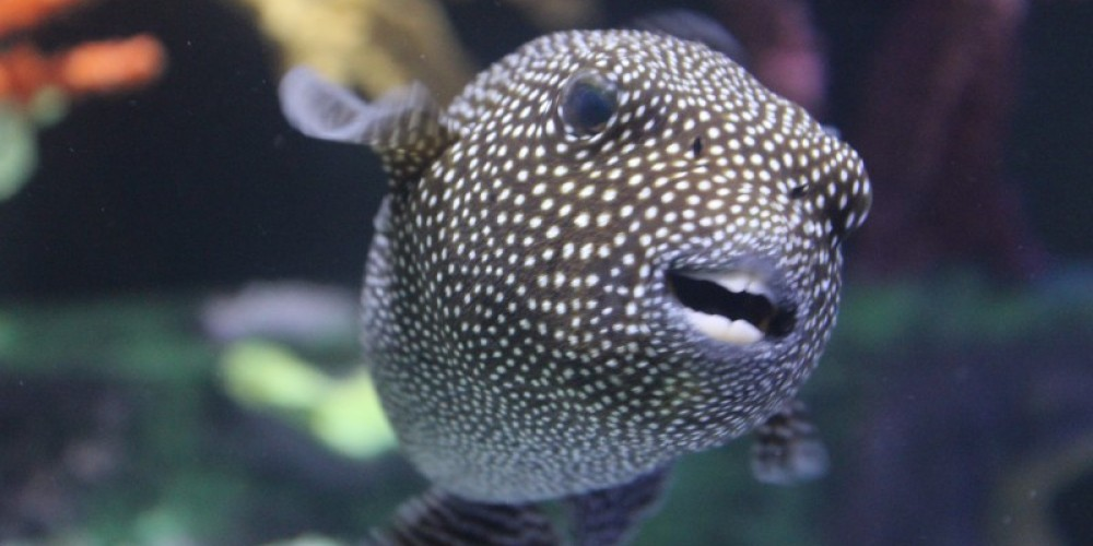 New Guinea pufferfish in Shipwrecks Alive! – Allison Iacone
