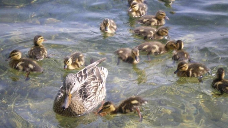 Mama duck has her plate full! – Jody Loew