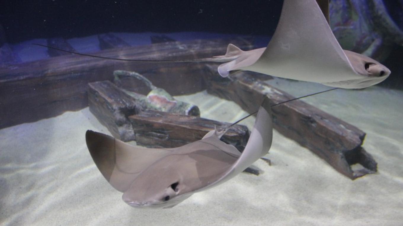 Cownose stingrays in Shipwrecks Alive! Mediterranean tank. – Allison Iacone