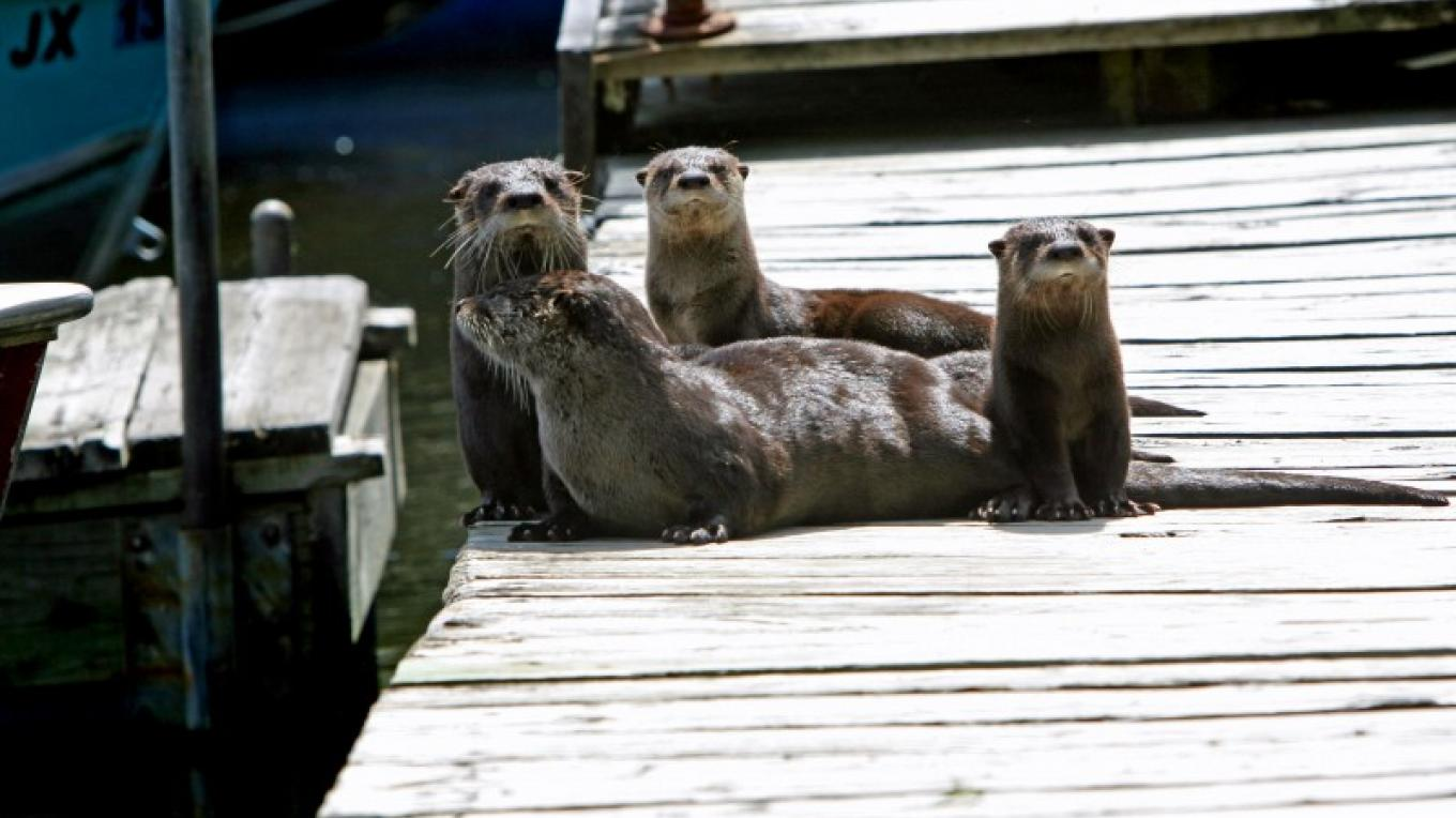 Playful otter family on the dock – Sally McRoberts