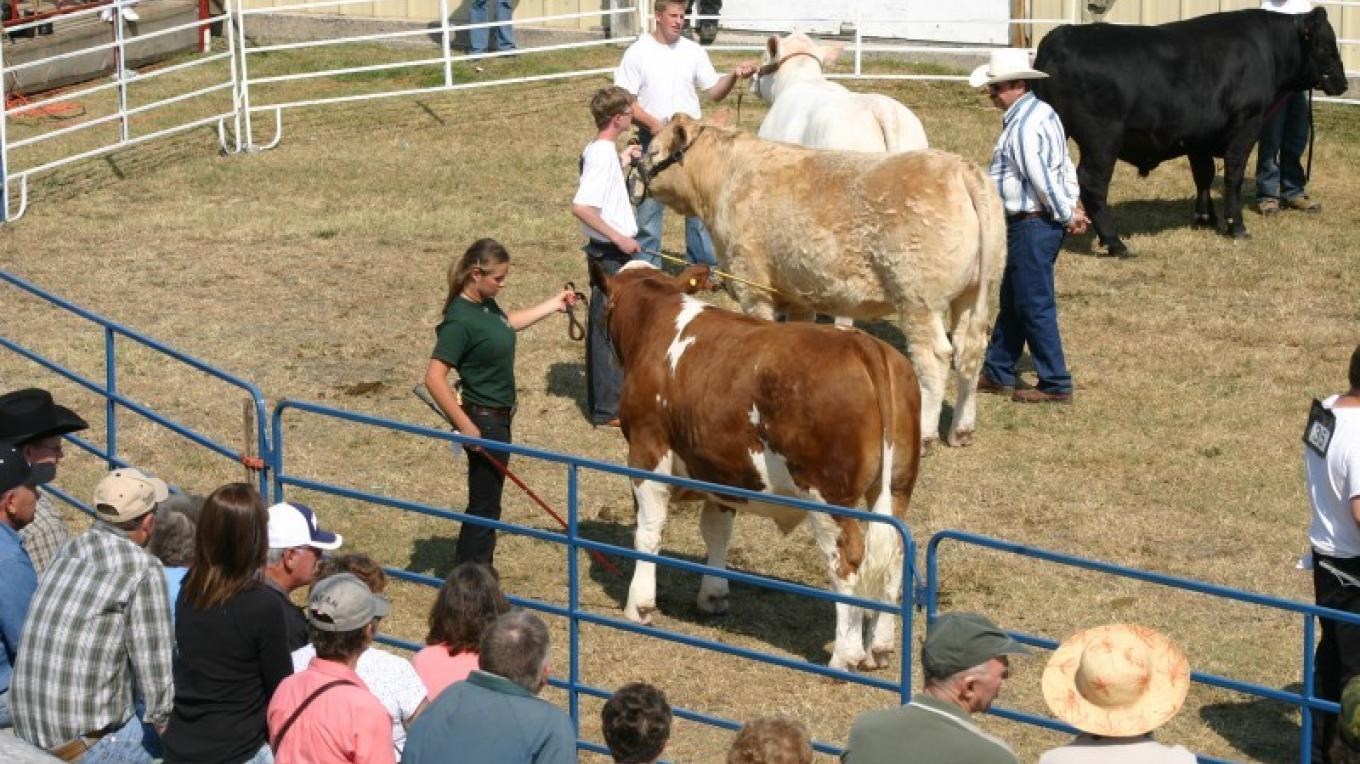 Cattle and livestock are showcased at the fair, with ribbons collected for top breeds. – RRVAS Voliunteers