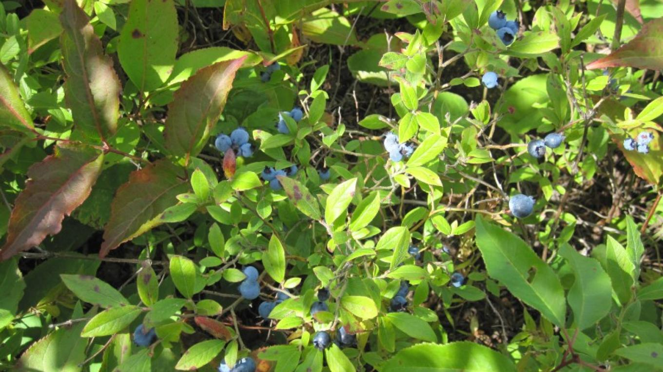 Blueberry Plants on the Centennial Trail – susan prom