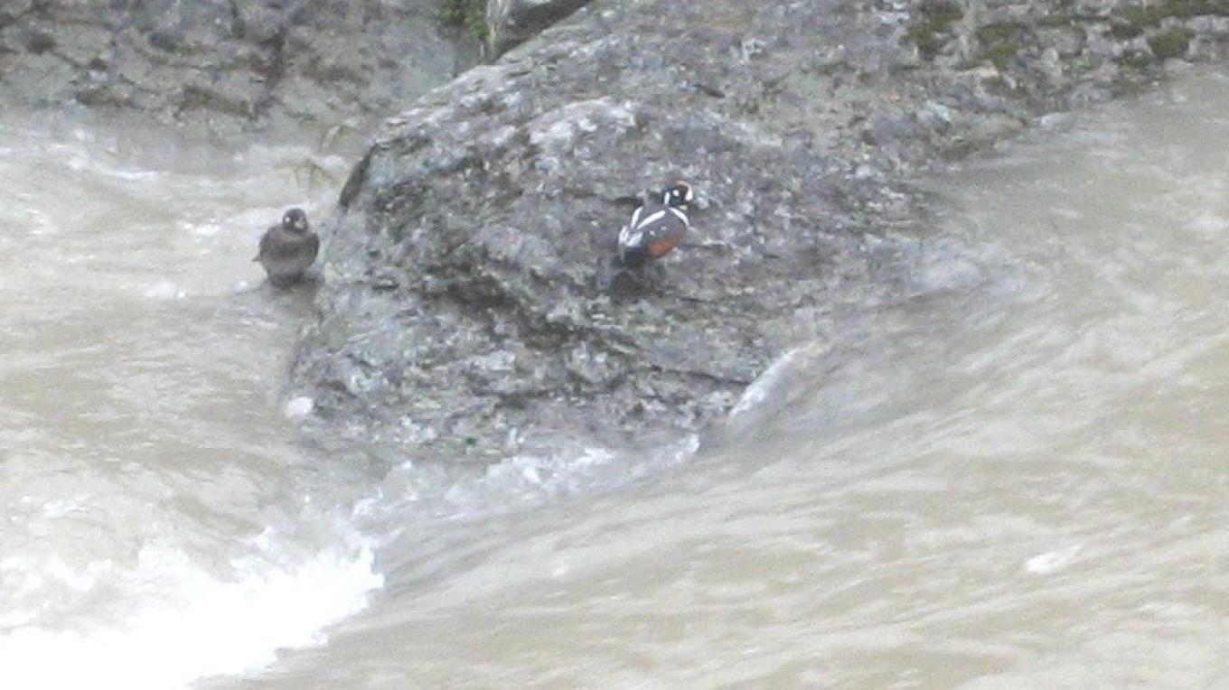 Harlequin ducks take a break from whitewater diving for cobble-living insects. – Steve Thompson