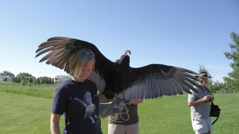 a Turkey Vulture prepares for another aerial demonstration – gwd   G. Wayne dwornik