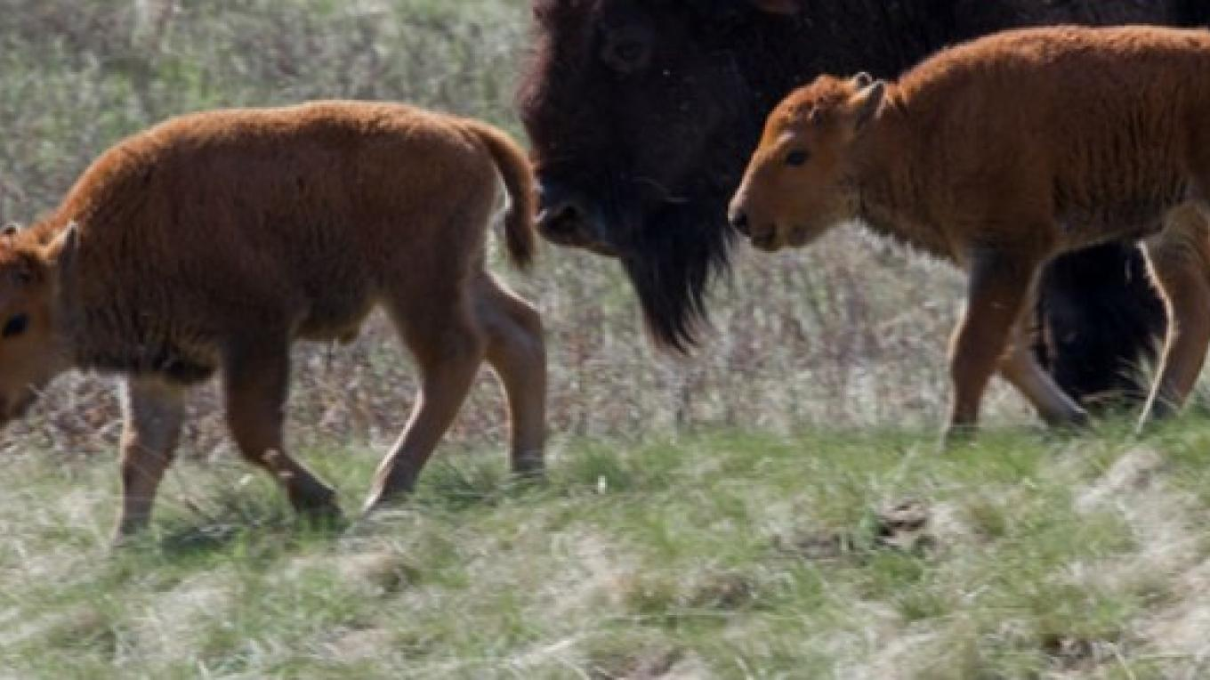 Bison calving season at the National Bison Range. – Dave Fitz courtesy US Fish and Wildlife Service