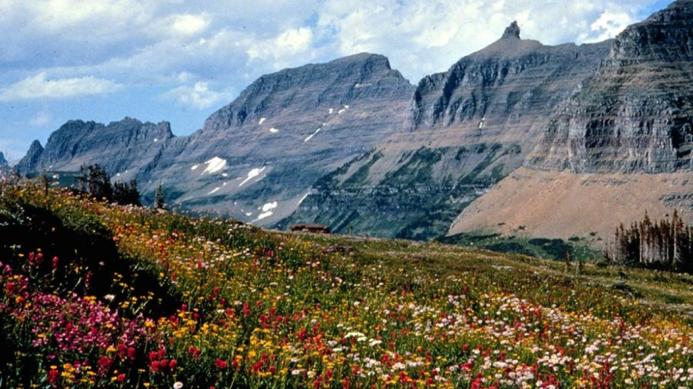 The Garden Wall along Glacier\'s Highline Trail is an ideal place to identify many species of wildflowers. It\'s not cheating if you visit the Sloan Herbarium before you hit the trail. – courtesy Glacier National Park