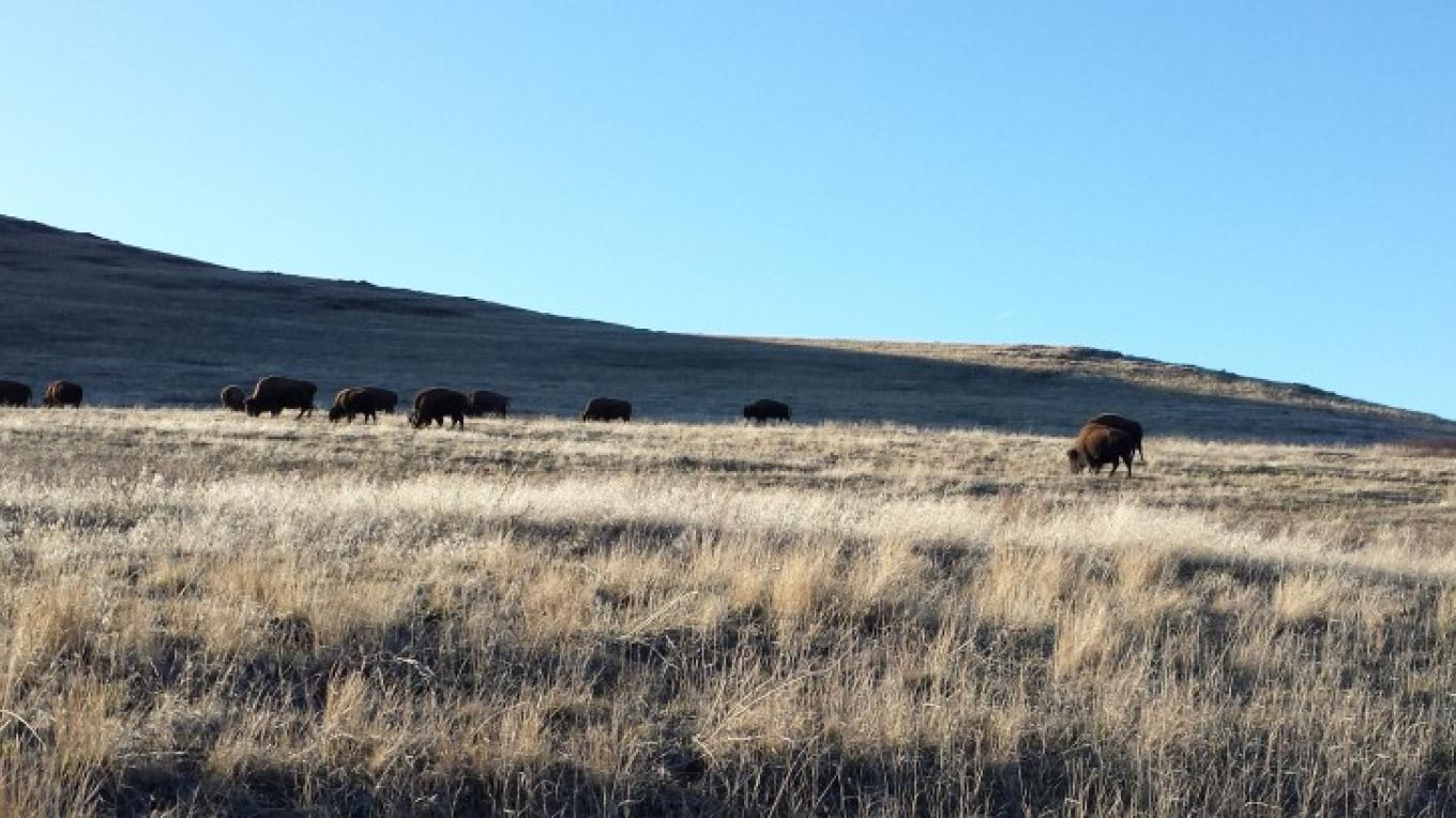 Bison herd grazing near the Winter Drive Road. – Sheena Pate