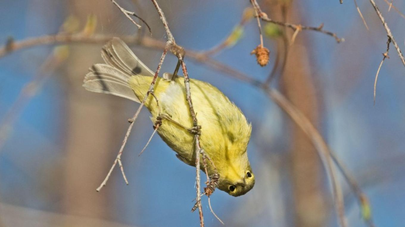 Orange Crowned Warbler – Don Delany