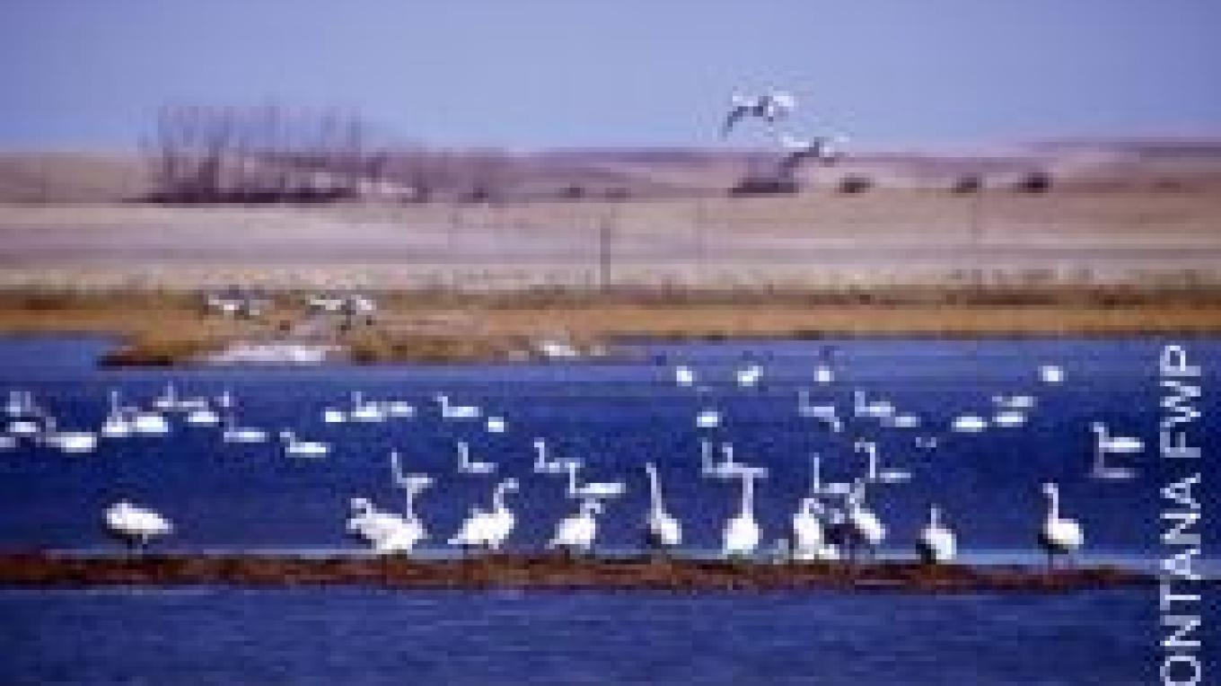 Snow geese on Freezeout Lake – Courtesy of MT Fish, Wildlife and Parks