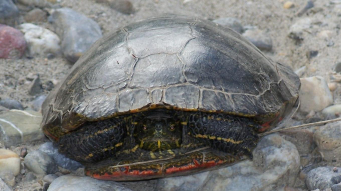 A painted turtle poses for a photo opportunity – Nick Berzins