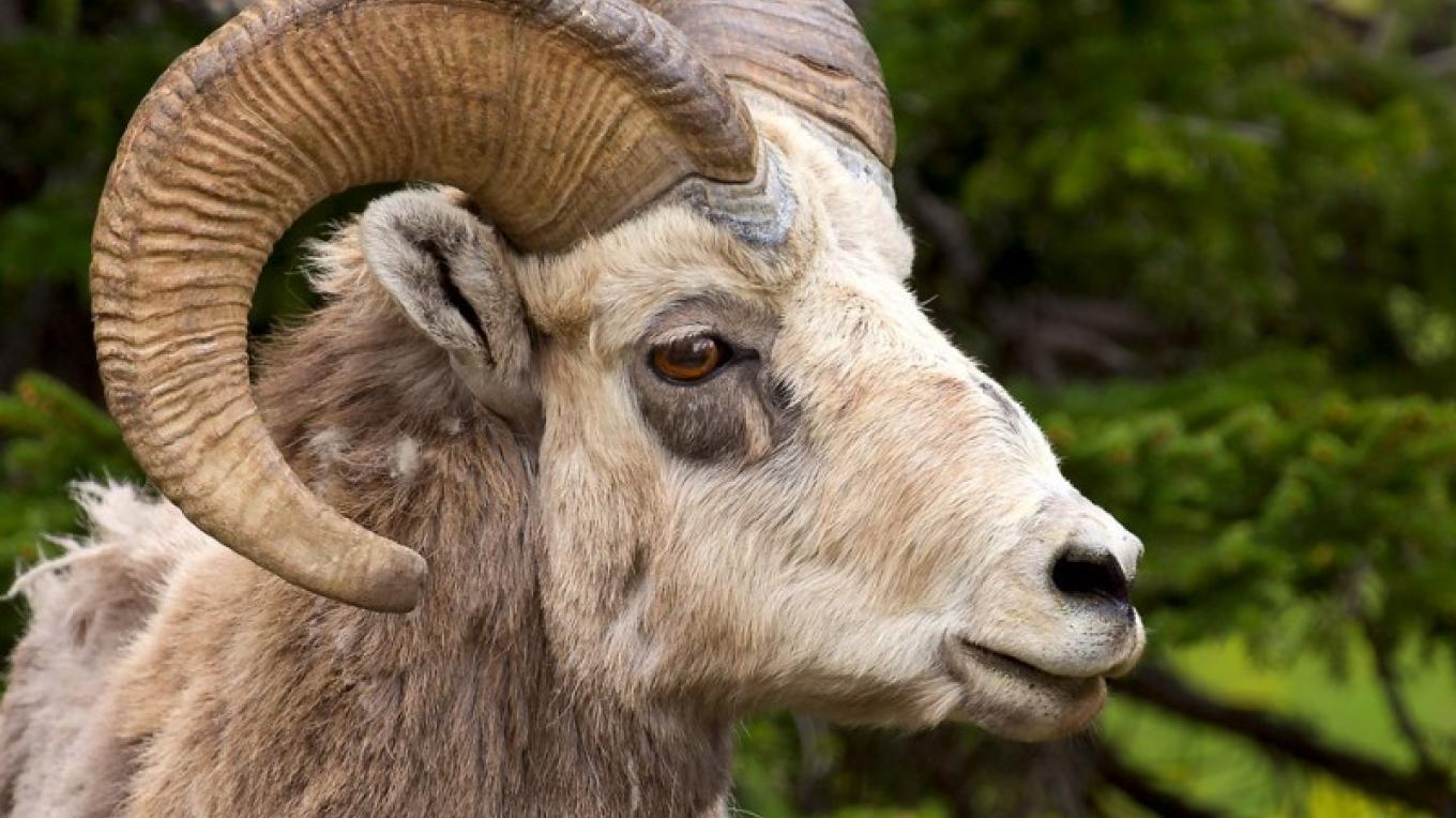 Bighorn sheep in Waterton-Glacier International Peace Park. – Frank Weinschenk