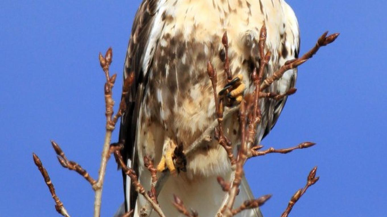 Rough Legged Hawk – Flathead Audubon